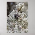 Primer del cono congelado del pino, Yellowstone Poster