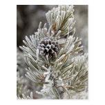 Primer del cono congelado del pino, Yellowstone Tarjetas Postales