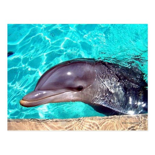 Primer del delfín tarjetas postales