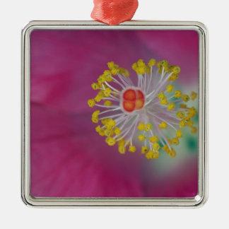 Primer del estambre de la flor del hibisco, hibisc ornato