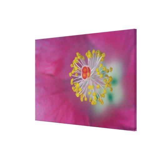 Primer del estambre de la flor del hibisco, hibisc lona envuelta para galerías