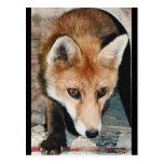 Primer del Fox Postal