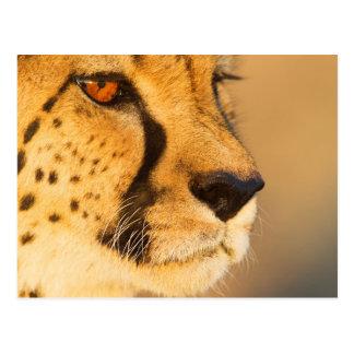 Primer del guepardo de una hembra postal