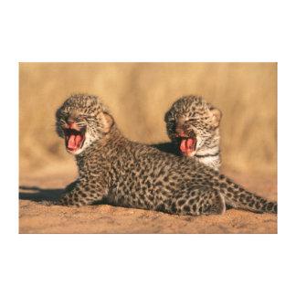 Primer del leopardo recién nacido (Panthera Impresiones De Lienzo