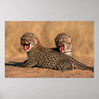 Primer del leopardo recién nacido (Panthera Póster