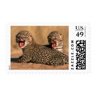 Primer del leopardo recién nacido (Panthera Franqueo