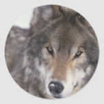 Primer del lobo pegatinas redondas
