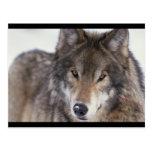 Primer del lobo postales