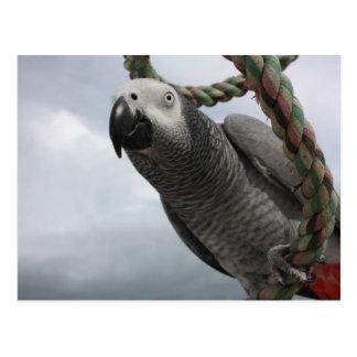 Primer del loro del gris africano postales