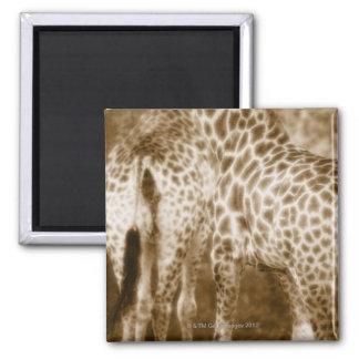 Primer del parque nacional de Kruger de las jirafa Imán Para Frigorifico