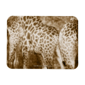 Primer del parque nacional de Kruger de las jirafa Iman