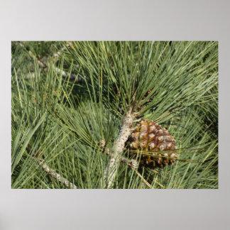 Primer del pino de Torrey Póster