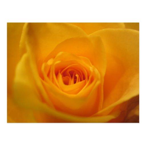 Primer del rosa amarillo tarjetas postales