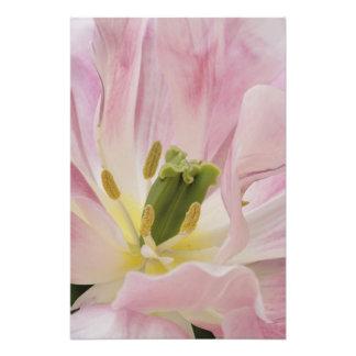 Primer del tulipán, jardines de Keukenhof, Lisse, Fotografías