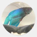 Primer exótico de los pescados de Betta Pegatina Redonda