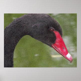 Primer hermoso del cisne negro poster