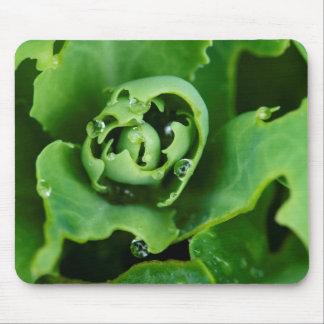 Primer, planta suculenta con las gotitas de agua tapete de raton