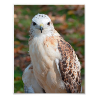 Primer rojo del halcón de la cola fotografías