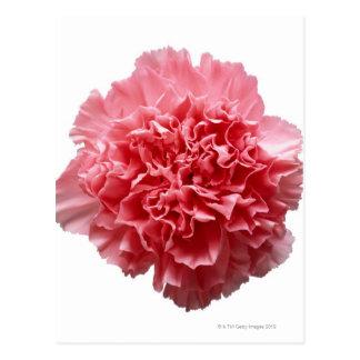 Primer rosado del clavel tarjeta postal