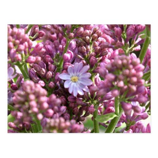 Primera flor de la lila con doce pétalos por postal