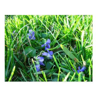 Primeras violetas de la primavera tarjeta postal