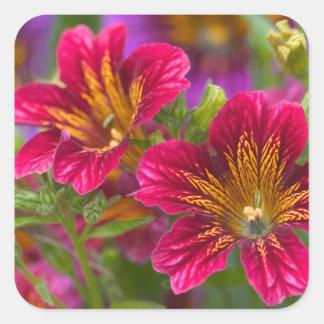 Primers pintados de la lengua de sus floraciones - pegatina cuadrada