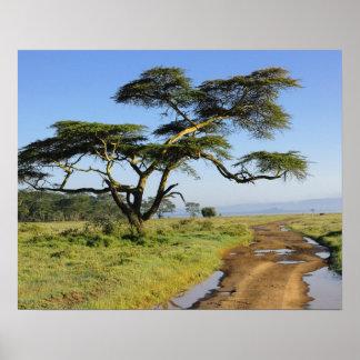 Primitive dirt road and acacia tree, Lake Nakuru Poster