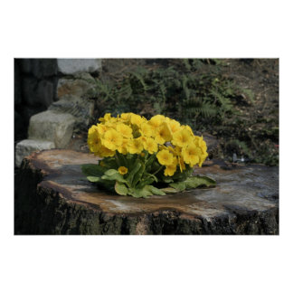 Primrose flowers. print