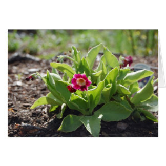 Primrose is the first flower to appear in Alaska Card