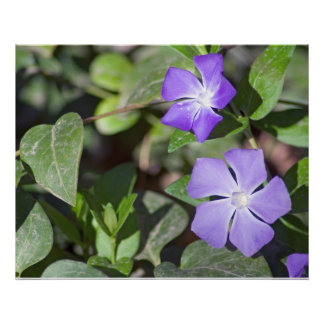 Primrose Jasmine Flower Print
