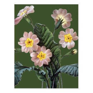 Primrose (Primula Aucalis) Postcard