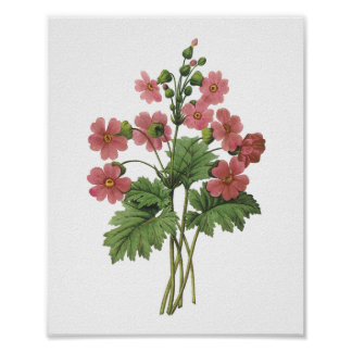 primrose(Primula sinensis) by Redouté Poster