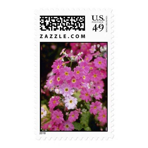 """Primula rosado Malacoides """"hielo rosado"""" Sellos"""