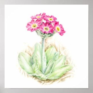 Primula scotia alpine plant watercolor art poster
