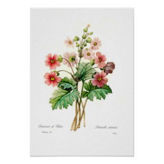 Primula sinensis poster