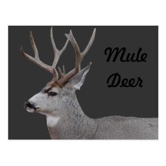 Principal y hombros del dólar del ciervo mula D002 Tarjetas Postales