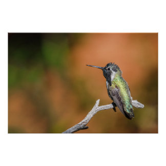 Print: Costa's Hummingbird #5 Poster