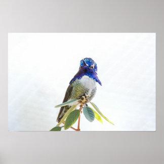 Print: Costa's Hummingbird Poster