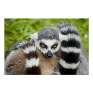 Print - Cute Lemur Stripey Tail