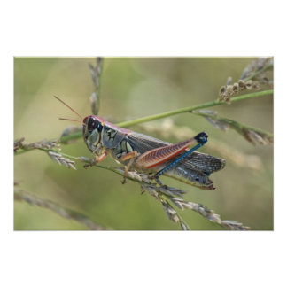 Print Grasshopper On Grass Stem