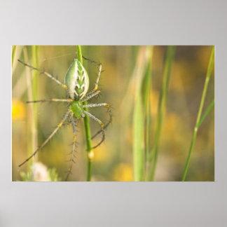 Print: Lynx Spider 1 Poster