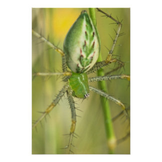Print: Lynx Spider 3