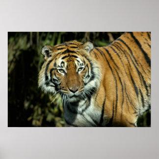Print: Malayan Tiger Poster