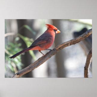 Print: Northern Cardinal 5 Poster
