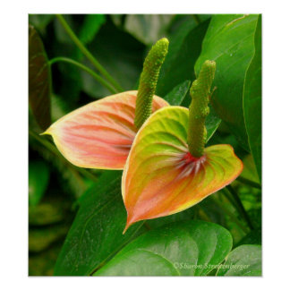print, PAIR OF ANTHURIUMS/ORANGE,YELLOW AND GREEN Poster