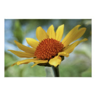 Print: Sun Flower