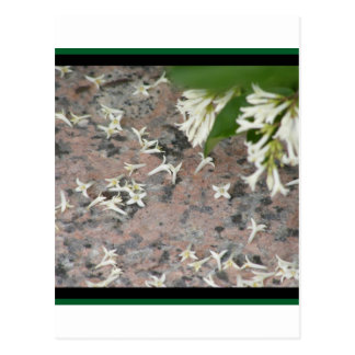 Privet Blossoms on Granite Postcard