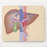 Procedimiento del trasplante del hígado tapete de raton