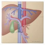 Procedimiento del trasplante del hígado tejas