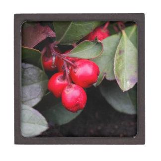 Procumbens del Gaultheria del Teaberry Caja De Recuerdo De Calidad